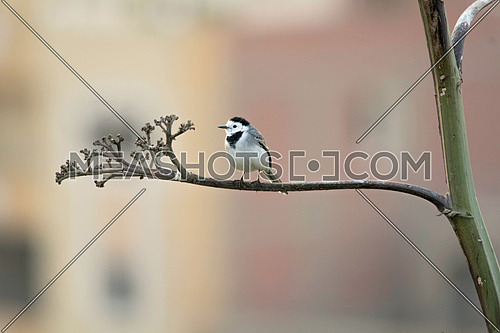 a White wagtail standing on a tree branch