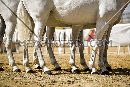 Equestrian test functionality with 3 pure Spanish horses, also called cobras 3 Mares, detail of the legs and hooves, Spain