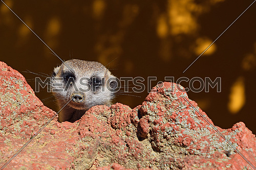 Close up portrait of one alerted meerkat looking at camera over rocks, low angle view