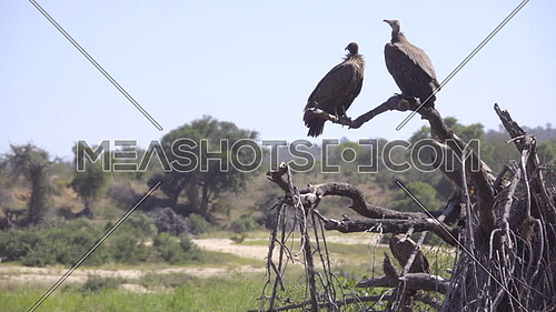 A vulture commitee landing and launching from branches