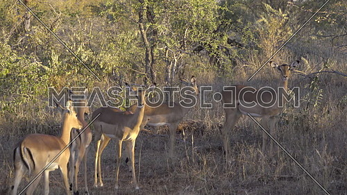 View of a herd of Impalas in the bush