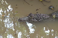 An alligator lies motionless in a marshy area near the Florida Everglades