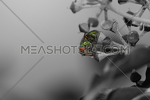Green fly on black and white ivy flower background