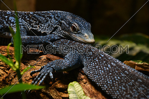 Close up side portrait of blue spotted tree monitor (Varanus macraei) resting on tree trunk, low angle view