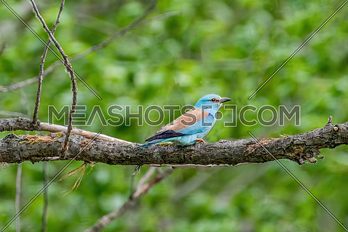 European roller (Coracias garrulus) sitting on a branch on a beautiful background.