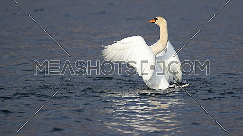 Mute swan Cygnus olor elegantly flapping its wings in a lake with reflections