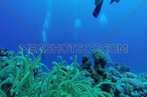 Follow shot for scuba divers and seaweed underwater at The Red Sea