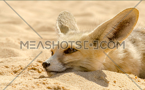 Arabian fox leaning head on the sand in the white desert