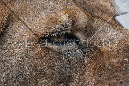 Extreme detailed close up profile portrait of female African lioness eye looking away