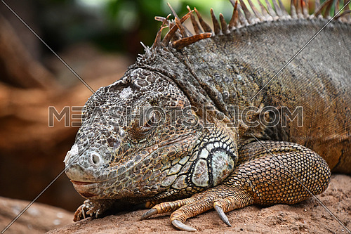 Close up profile portrait of green American iguana male resting on rocks and looking at camera, low angle view