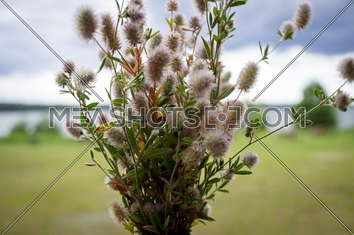 Bunch of dainty pink inflorescences of spring wildflowers against a coastal landscape in a concept of the seasons