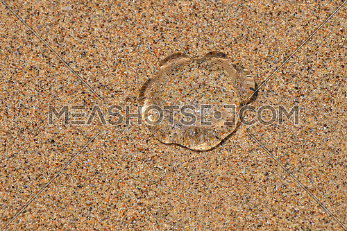 One small transparent jellyfish out of water on coarse colorful sand sea beach under the bright sunshine, close up, high angle view