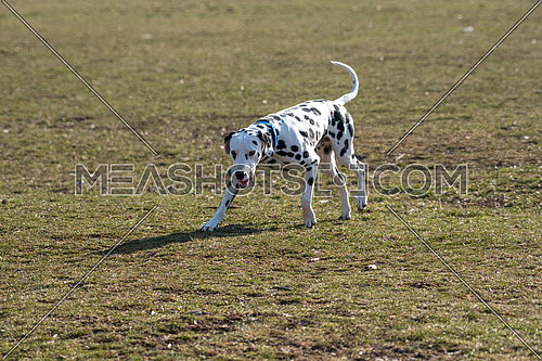 Adorable black Dalmatian dog outdoors in park