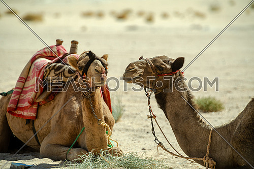 Two Camels with traditional saddles sitting in the desert at day - Sinai