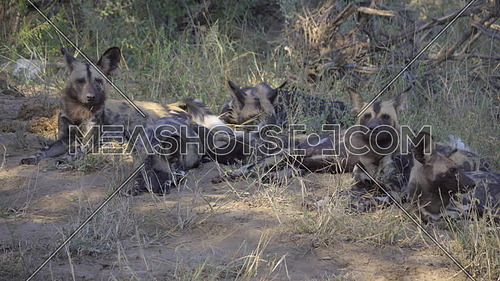 View of a pack of Cape Hunting Dogs in the shade