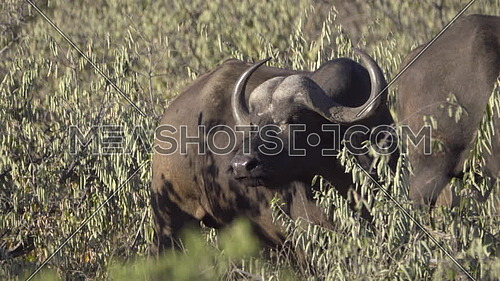 Scene of a Cape Buffalo stands alertly in bush