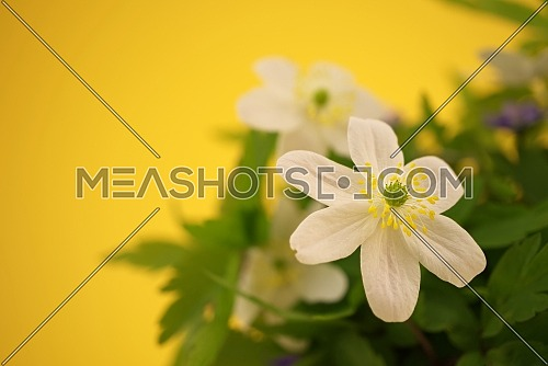Spring background with blooming bright white flowers. Green, white and yellow springtime background with copy space