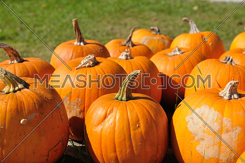 pumpkin healthy organic food  background at autumn season on market ready for helloween holiday