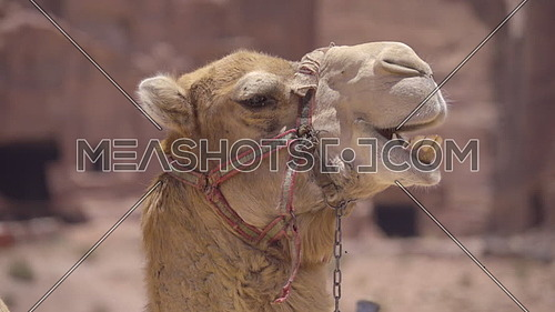 Scene of a cud chewing camel