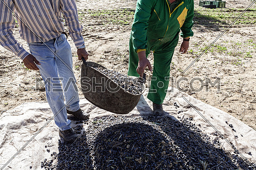 Jaen, Spain - yanuary 2, 2016: Two farmers unload olives in a heap on the floor, during the winter in January, take in Jaen, Spain