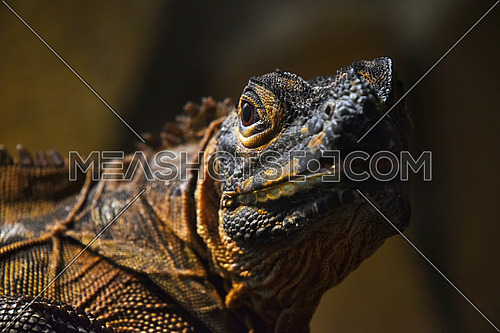 Close up half profile portrait of black iguana looking at camera, low angle view