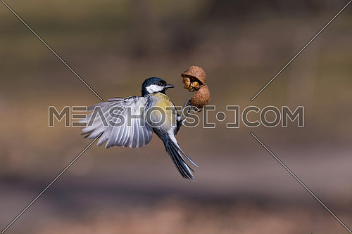 Cute  Great tit (Parus major) bird in yellow black color catching walnut in the air