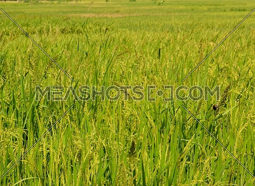 Natural Rice Fields With Yellow Rice, Good Ecosystems Invite Birds To Come