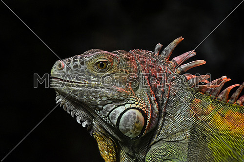 Close up portrait of green iguana male in profile over dark or black background