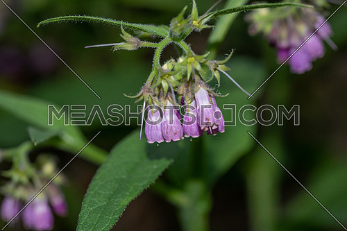 Flowers of Common Comfrey, Symphytum officinale