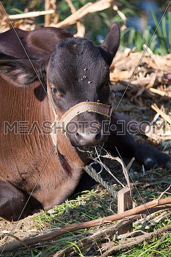 portrait of a dark brown cow sitting int he field