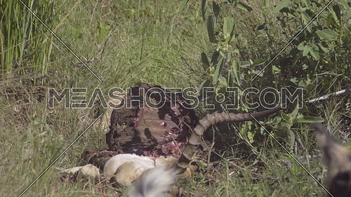 Scene of vultures being chased away from kill by Wild Dogs
