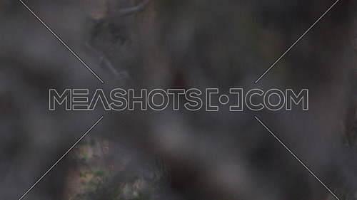 Tracking shot of a lion as it hunts in the bush