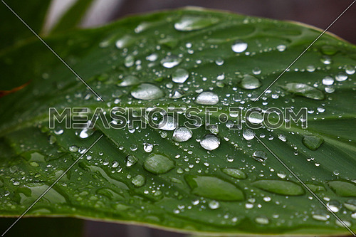 Close up raindrops, water droplets or dew drops on green leaf