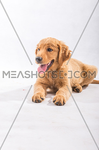Shot for Canadian Golden Retriever Dog.