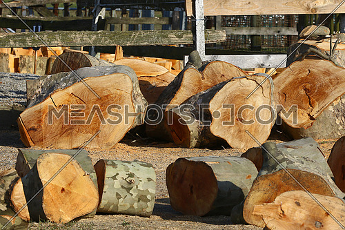 Large trees beeing cut and prepared for firewood