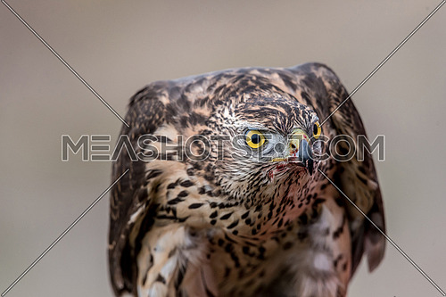 Portrait of Falcon with a bloody beak. Bird of prey