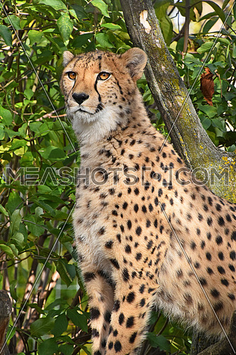 Close up portrait of cheetah (Acinonyx jubatus) sitting in ambush among green trees and looking aside of camera, low angle view