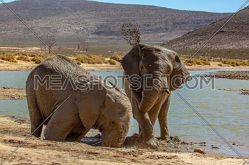 Elephants in Wild Life in Africa enjoying the water in the heat