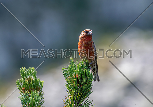 Crossbill in natural habitat - Loxia curvirostra. Wildlife photo