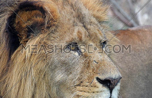 Extreme close up side profile portrait of cute male African lion looking away, low angle view