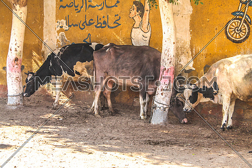 Cattle farm in a village