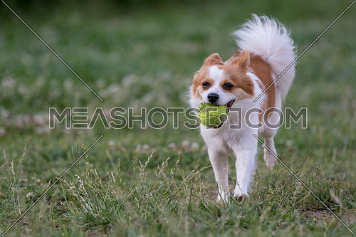 White Mini Spitz  running  Close-up view of  dog