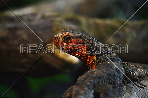 Close up portrait of Chinese crocodile lizard (Shinisaurus crocodilurus) on tree, looking at camera, low angle view