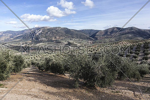 Landscape of olive trees during summer, cultivation ecologic, Spain