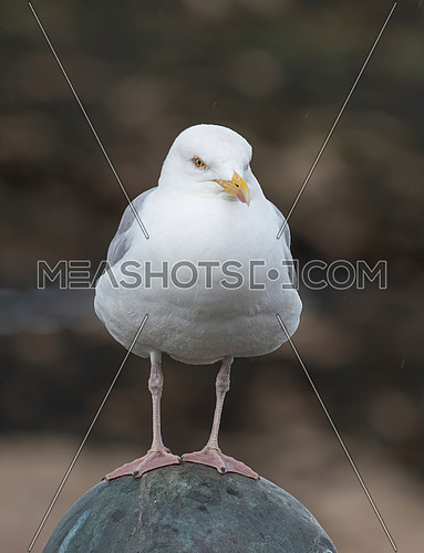 European Herring Gull (Larus argentatus) is one of the best known of all gulls