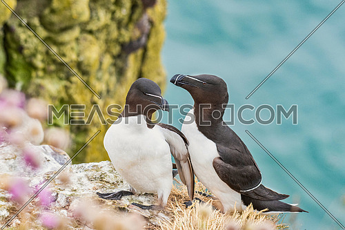 Close up shot of Razorbill (Alca torda) standing on rock cliff