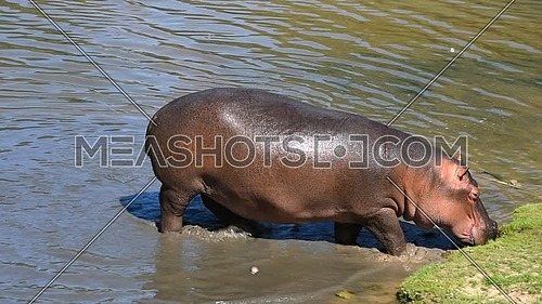 Close up one hippo walking getting out of water to grass river bank sunny day, close up, high angle view