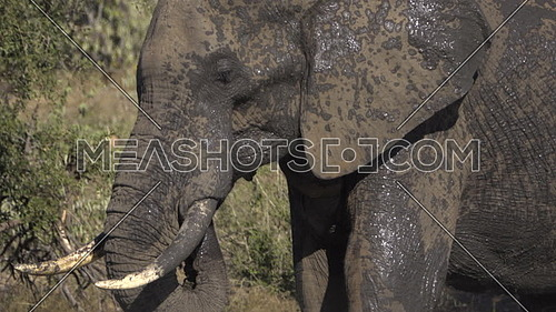 View of a thirsty bull elephant drinking water