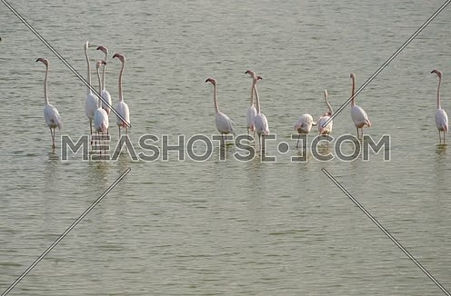 Wild pink and grey flamingos on the salt lake in Larnaca, Cyprus