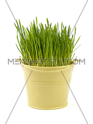 Spring fresh green grass growing in small painted metal bucket, close up over white background, low angle view